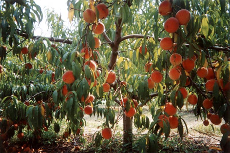 http://www.driedfruit.narod.ru/Images/55b.jpg